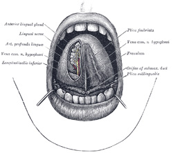 XI  Splanchnology  2a  The Mouth  Gray, Henry  1918  Anatomy of the