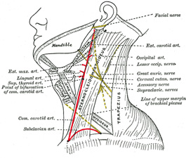 Canine Vagus Nerve Diagram also Neck Anatomy Carotid Artery besides  furthermore 363 together with 1952678. on location of the human thyroid
