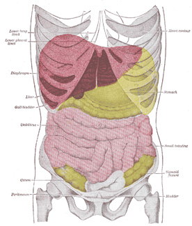 Xii surface anatomy and surface markings 8 surface markings of 1224 topography of thoracic and abdominal viscera see enlarged image ccuart Images