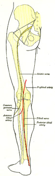 femoral nerve pathway – lickclick, Muscles