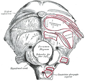 External view of the occipital bone. (www.bartleby.com)