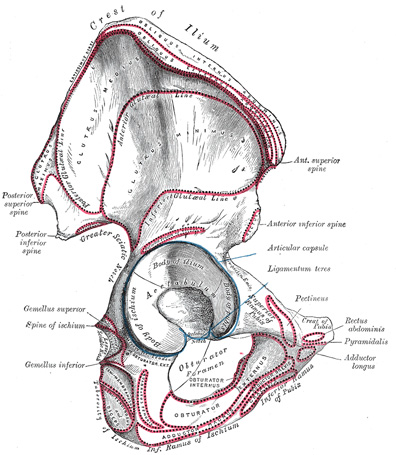 II. Osteology. 6c. The Bones of the Lower Extremity. 1. The Hip Bone ...