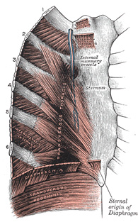 Iv Myology 6c The Muscles Of The Thorax Gray Henry