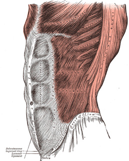 Iv myology 6d the muscles and fasci of the abdomen gray 5 ccuart Image collections