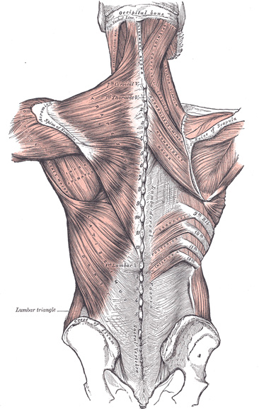 Appreciate the lower trapezius!