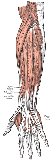 IV. Myology. 7e. The Muscles and Fasciæ of the Forearm. Gray, Henry ...