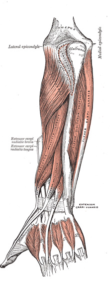 Iv Myology 7e The Muscles And Fasci Of The Forearm Gray Henry