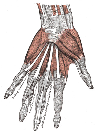 IV. Myology. 1F. The Muscles and Fasciæ of the Hand. Gray, Henry ...