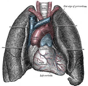 Front view of heart and lungs