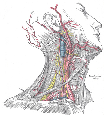 arteries in neck and head. The Arteries of the Head and