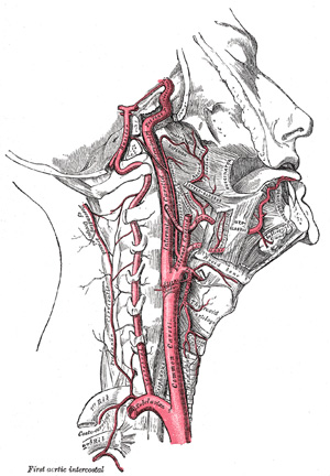 The Internal Carotid Artery. Gray, Henry. 1918.