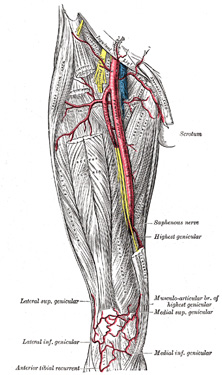 vi. the arteries. 6. the arteries of the lower extremity. gray, Cephalic Vein