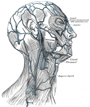 The veins of the exterior of the head and face
