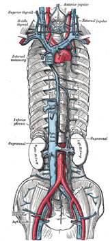 vii. the veins. 3c. the veins of the upper extremity and thorax, Cephalic Vein