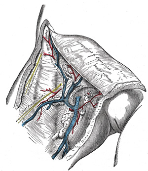 VII  The Veins  3d  The Veins of the Lower Extremity, Abdomen, and
