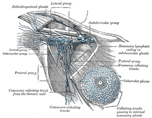 viii. the lymphatic system. 4. the lymphatics of the upper, Cephalic Vein