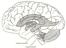 Ventricular system of the brain (www.bartleby.com)