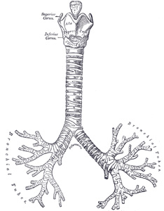 XI. Splanchnology. 1b. The Trachea and Bronchi. Gray, Henry. 1918 ...