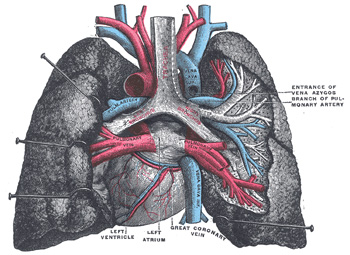 Xi splanchnology 1e the lungs gray henry 1918 anatomy of the 971 pulmonary vessels seen in a dorsal view of the heart and lungs the lungs have been pulled away from the median line and a part of the right lung has ccuart Image collections