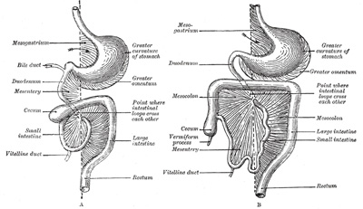 Page1108 further 8525672 besides Greater omentum as well Sheep Meat Diagram additionally Your Tongue Map Of Your Health. on liver intestines